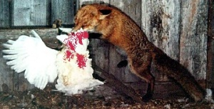 a picture of a fox eating a chicken