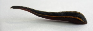 Picture Of A Leech