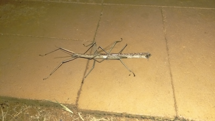 'Stella' the Stick Insect